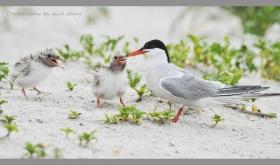 燕鸥和它的宝宝