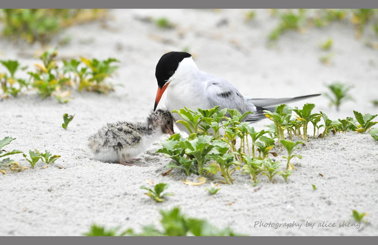 燕鸥和它的宝宝_图1-6
