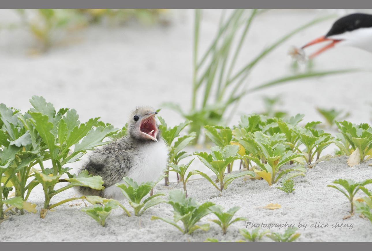 燕鸥和它的宝宝_图1-5