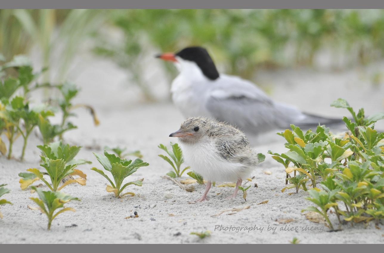 燕鸥和它的宝宝_图1-4
