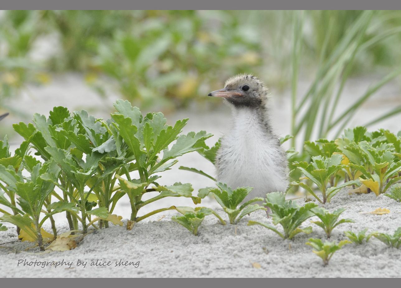燕鸥和它的宝宝_图1-2