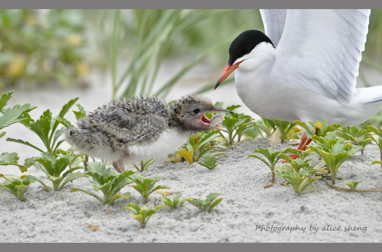 燕鸥和它的宝宝_图1-1