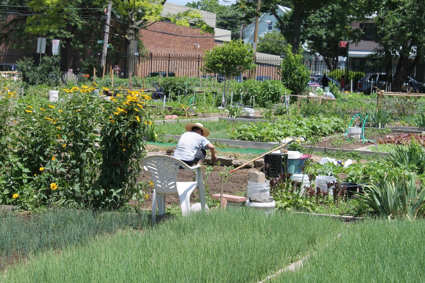 法拉盛社区菜园_图1-8