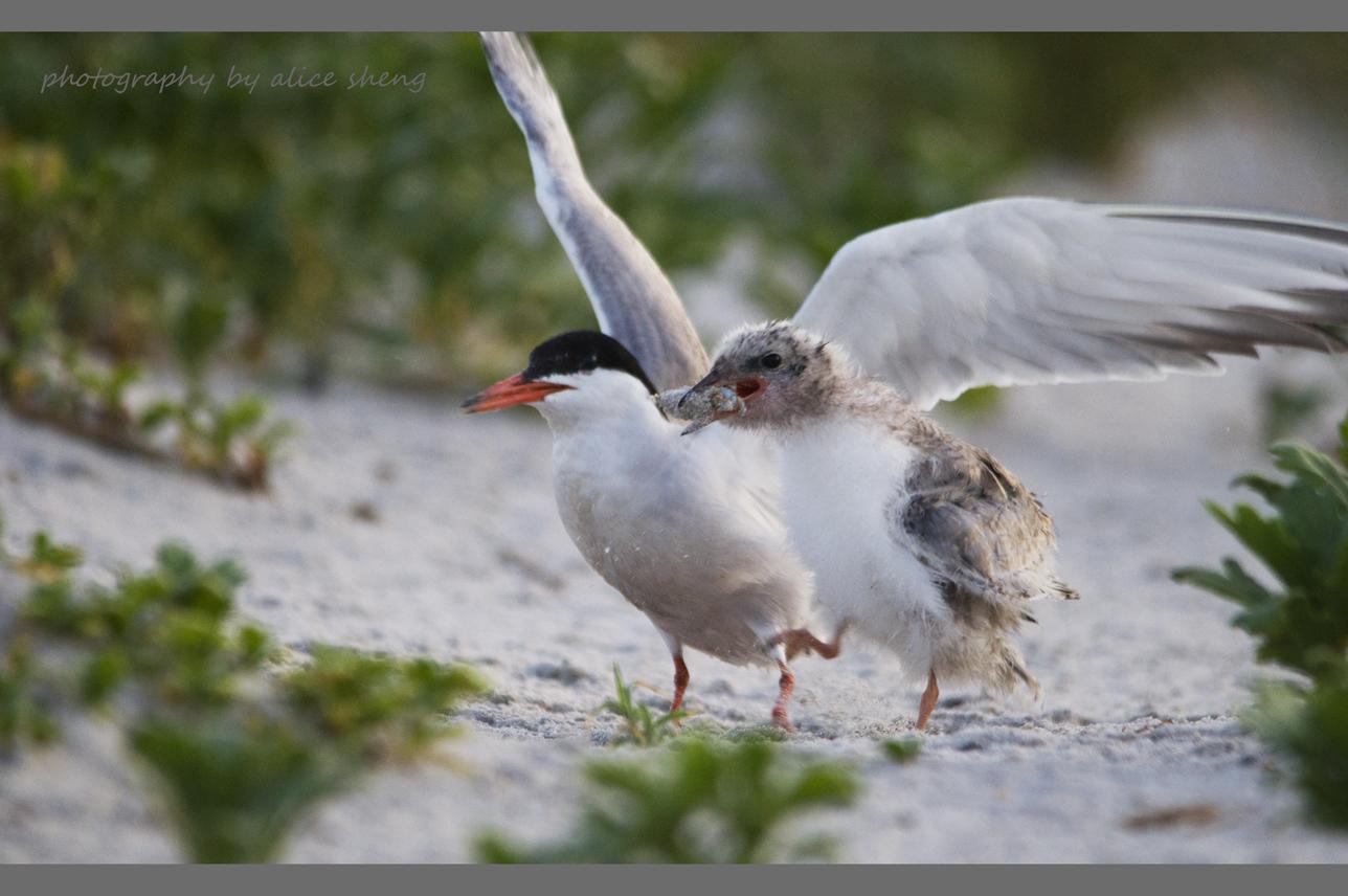 燕鸥和它的宝宝之二_图1-6