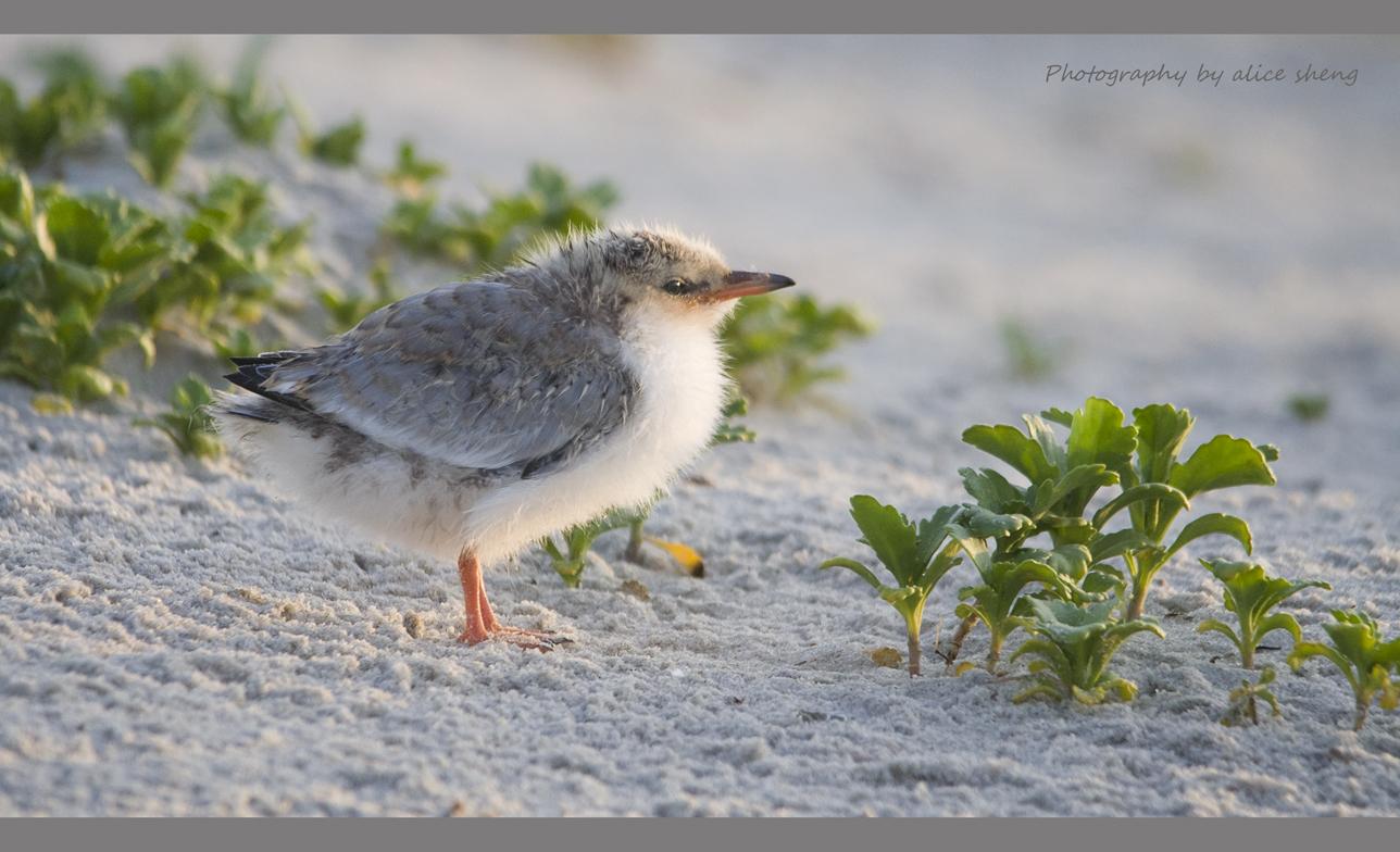 燕鸥和它的宝宝之二_图1-5