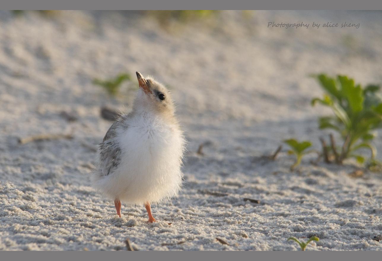 燕鸥和它的宝宝之二_图1-3