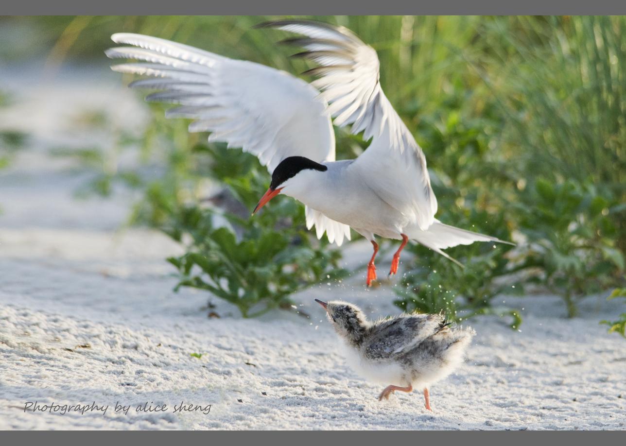 燕鸥和它的宝宝之二_图1-2