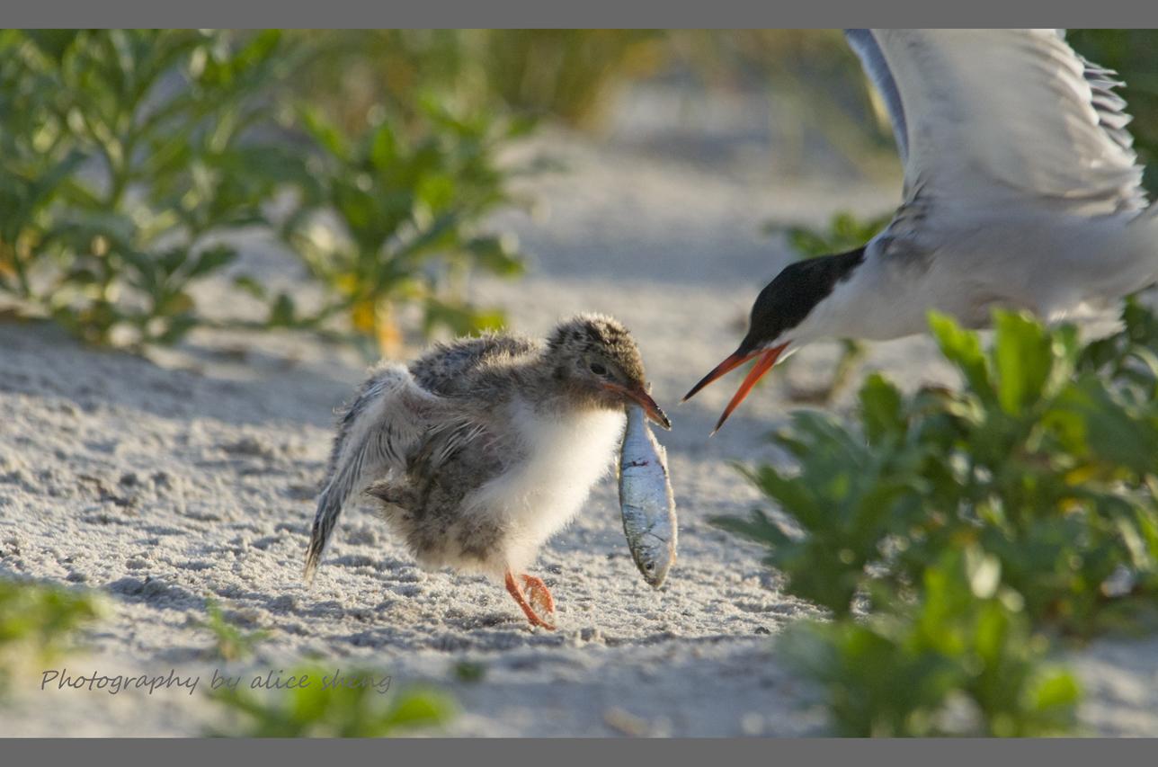 燕鸥和它的宝宝之二_图1-1