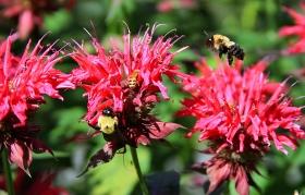 蜂恋《bee balm 香蜂草》