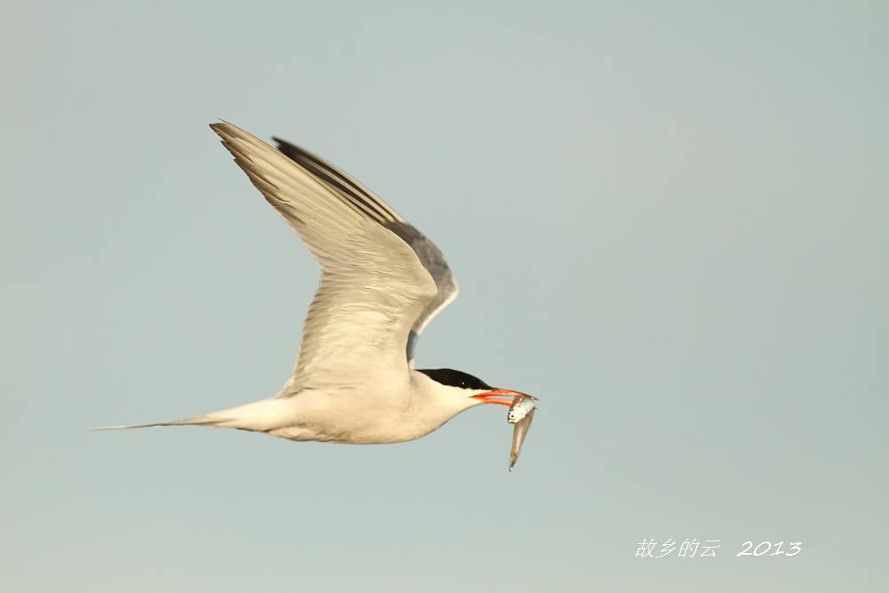 飞翔的燕鸥_图1-1