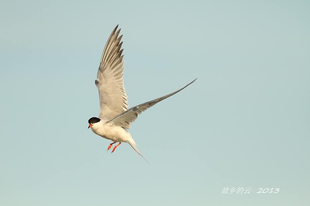 飞翔的燕鸥_图1-2
