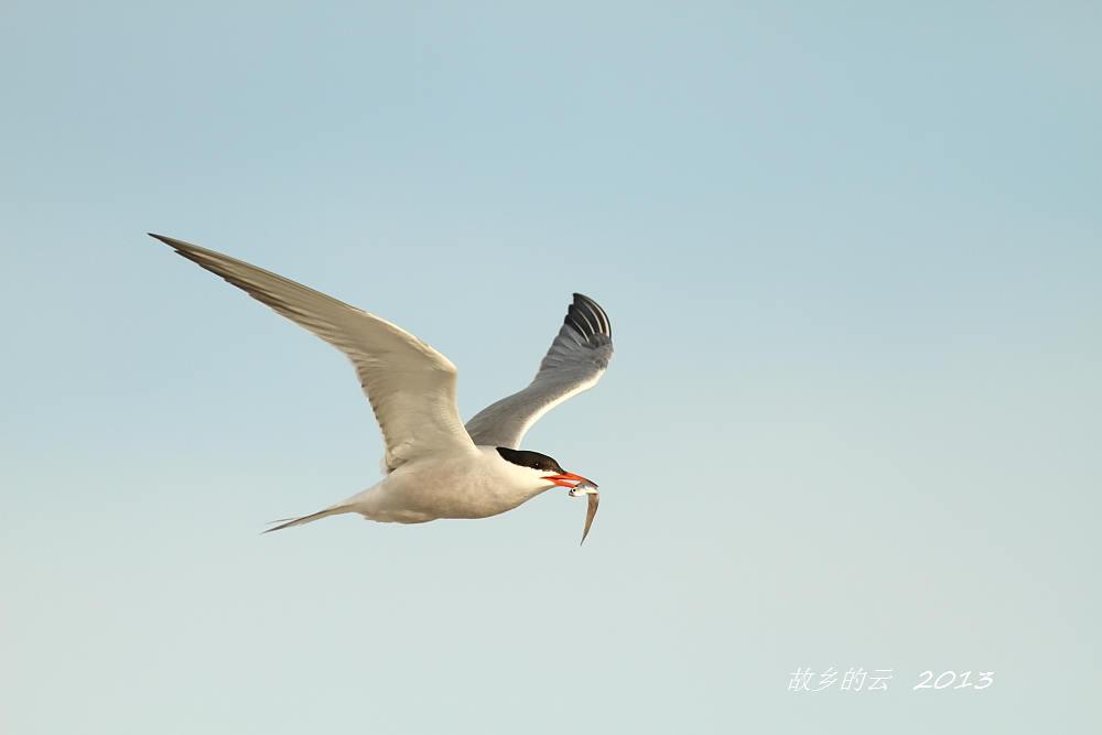 飞翔的燕鸥_图1-4