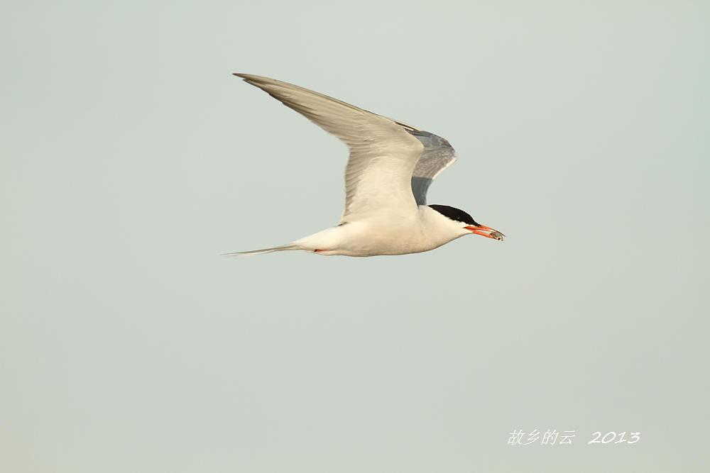 飞翔的燕鸥_图1-5