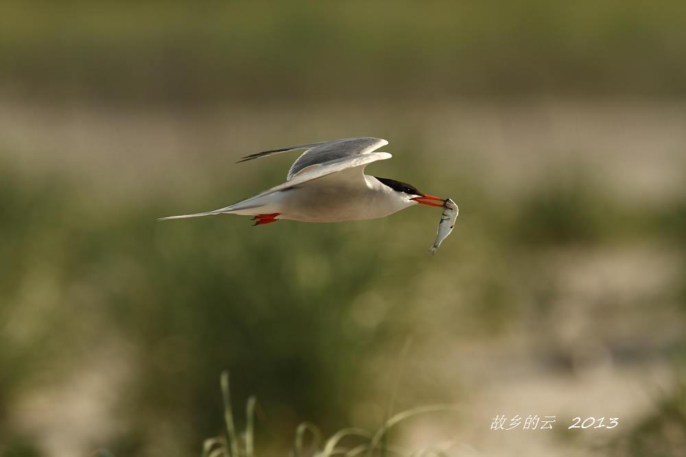 飞翔的燕鸥_图1-6