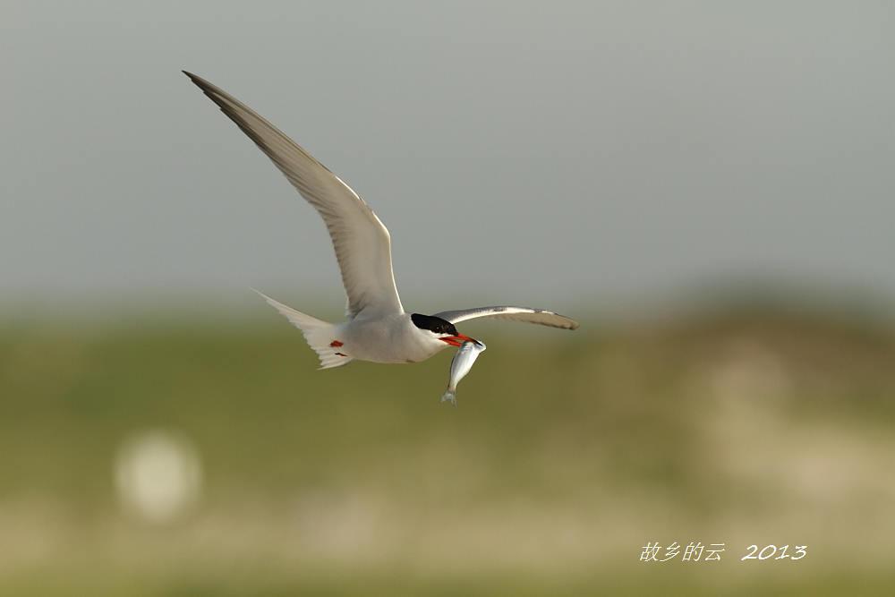 飞翔的燕鸥_图1-8