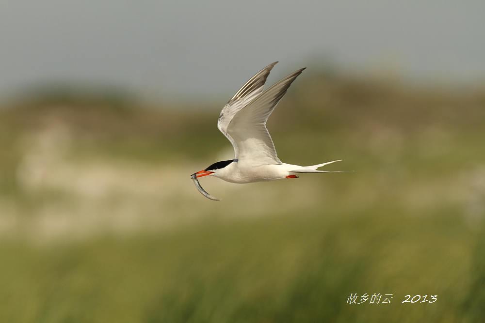飞翔的燕鸥_图1-7