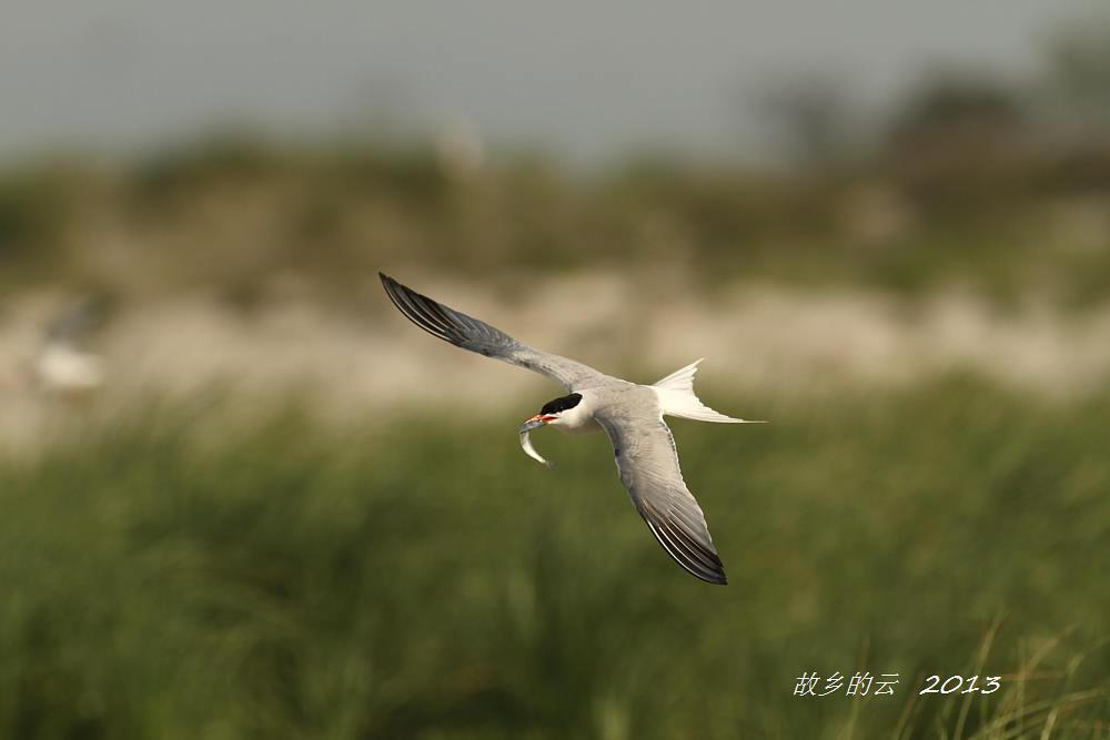 飞翔的燕鸥_图1-9