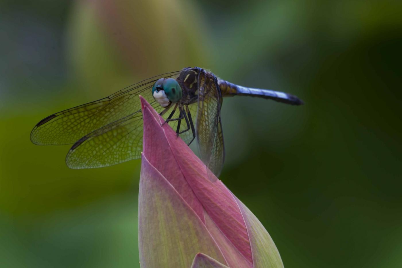 蜻蜓_图1-5