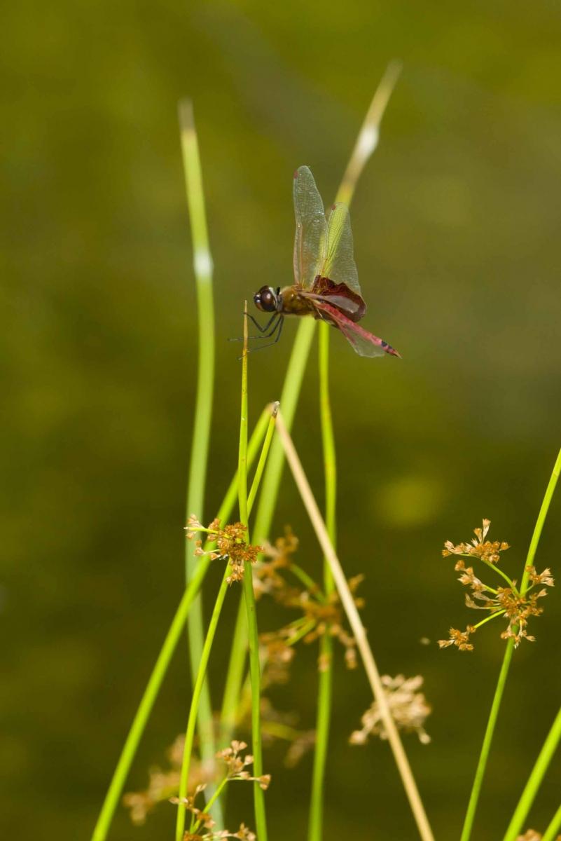 蜻蜓_图1-9