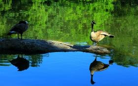 一组《Central Park》野生鹅、鹅、鹅、鹅!
