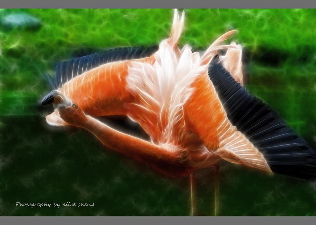 美丽的火烈鸟之二_图1-7