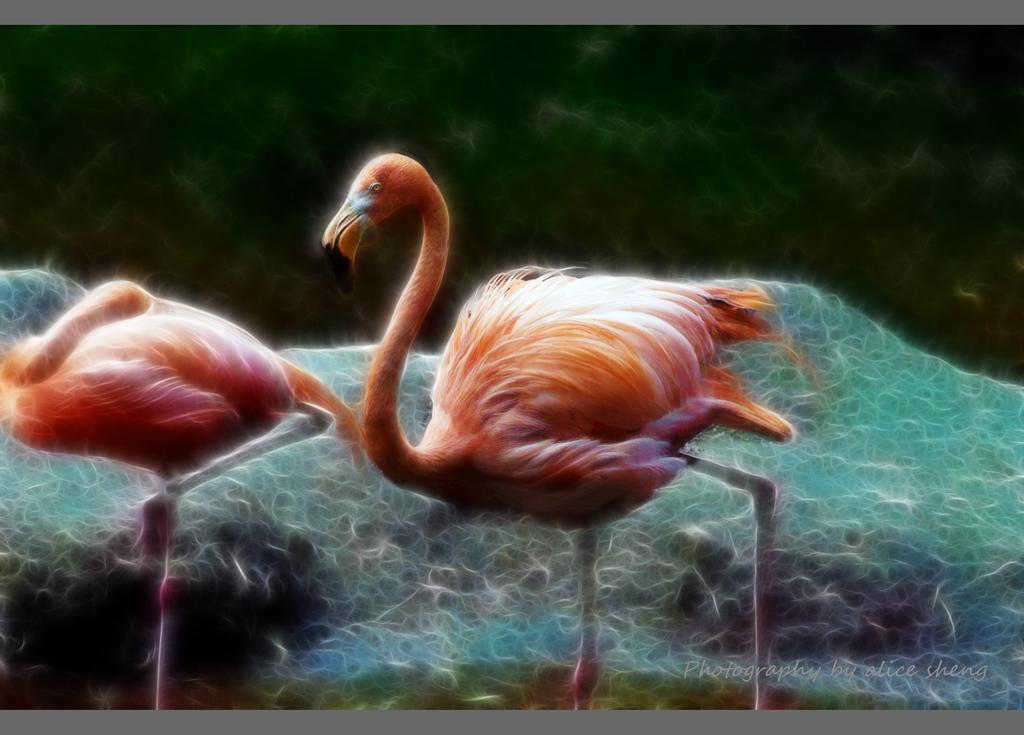 美丽的火烈鸟之二_图1-6