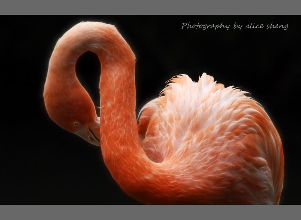 美丽的火烈鸟之二_图1-4