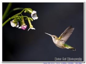 飞舞的蜂鸟-Hummingbird