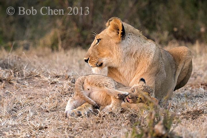 [海洋摄影]非洲肯亚行之一狮崽子_图1-1
