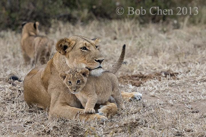 [海洋摄影]非洲肯亚行之一狮崽子_图1-2