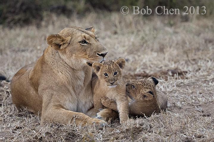 [海洋摄影]非洲肯亚行之一狮崽子_图1-3