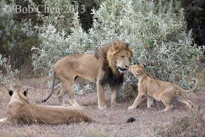 [海洋摄影]非洲肯亚行之一狮崽子_图1-4
