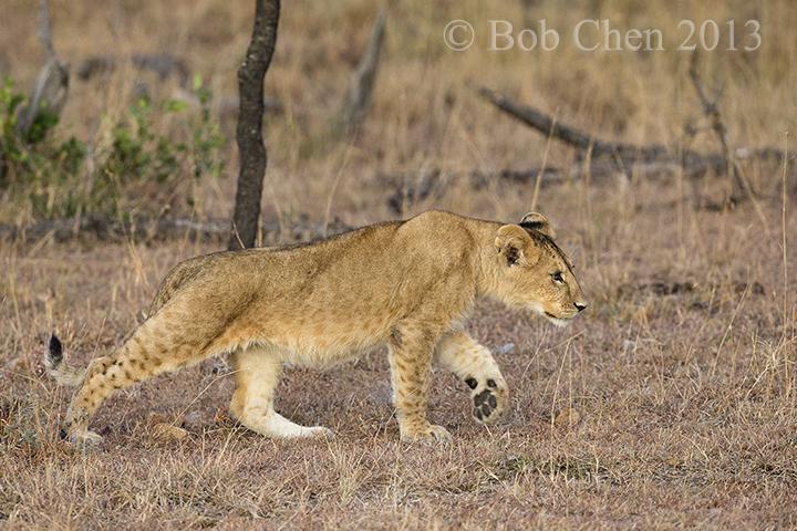 [海洋摄影]非洲肯亚行之一狮崽子_图1-7