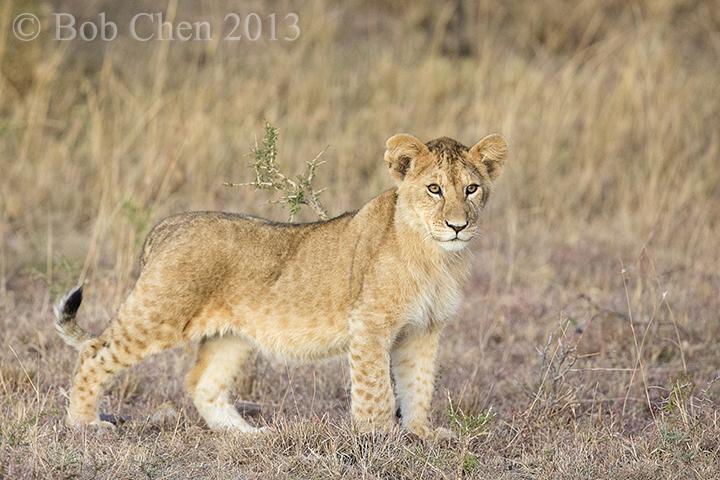 [海洋摄影]非洲肯亚行之一狮崽子_图1-8