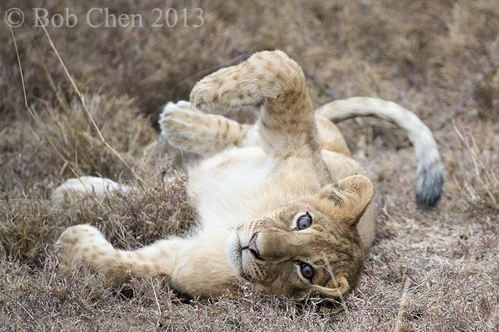 [海洋摄影]非洲肯亚行之一狮崽子_图1-9