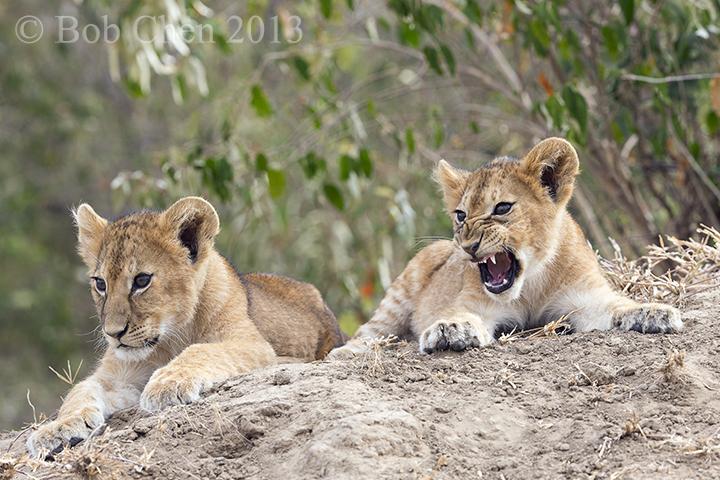 [海洋摄影]非洲肯亚行之一狮崽子_图1-10