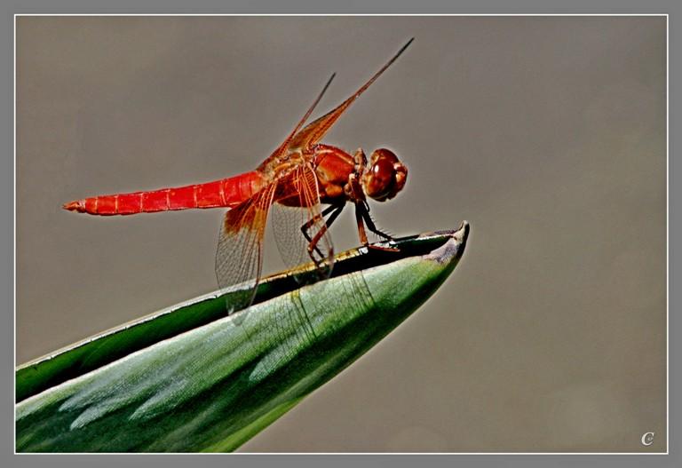 红蜻蜓_图1-8