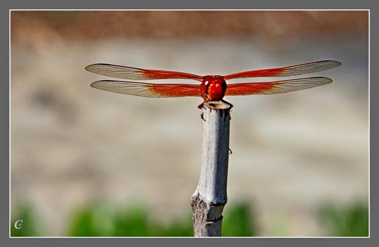 红蜻蜓_图1-9