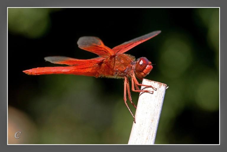 红蜻蜓_图1-11