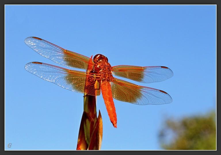 红蜻蜓_图1-12