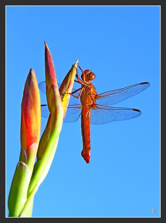 红蜻蜓_图1-13