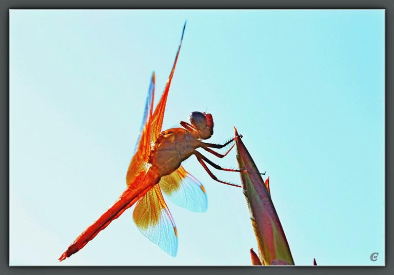 红蜻蜓_图1-15