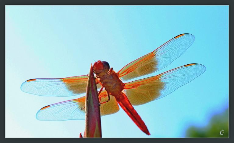 红蜻蜓_图1-16