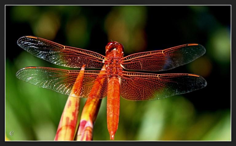 红蜻蜓_图1-14