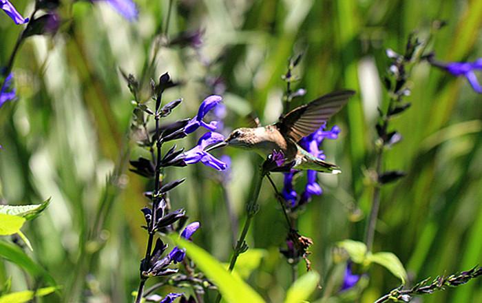 一组【紫花也引蜂鸟】!_图1-3