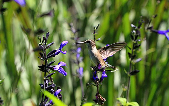 一组【紫花也引蜂鸟】!_图1-5