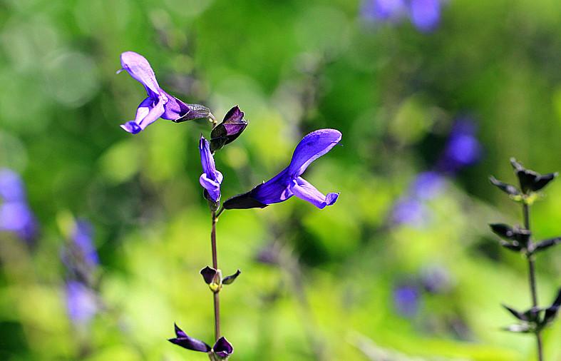 一组【紫花也引蜂鸟】!_图1-6