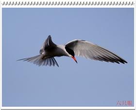 六只眼:燕鸥的水上表演