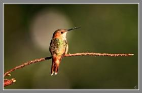 树枝上的小蜂鸟