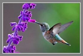 空中飞舞的小蜂鸟